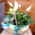 SF-017 スパティフィラムと観葉植物の寄鉢