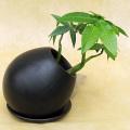 SP-008 パキラ鉢植え