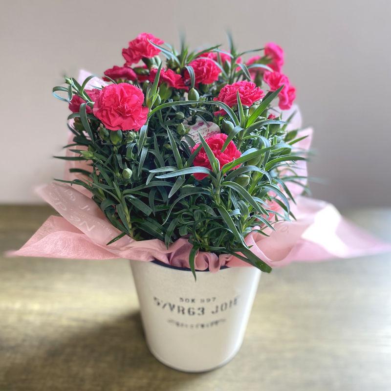 カーネーション花鉢 pink系