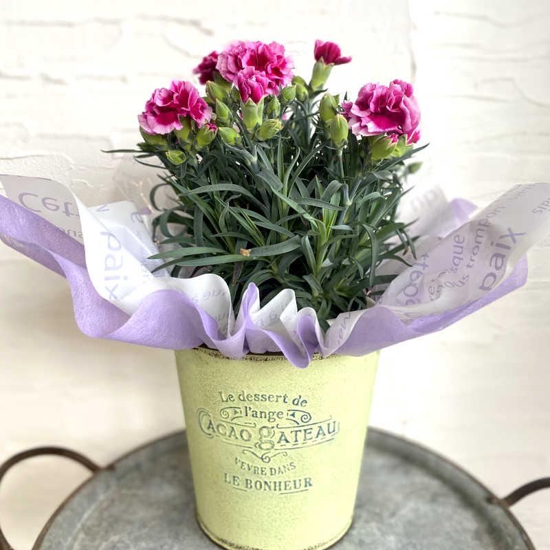 カーネーション花鉢 purple系