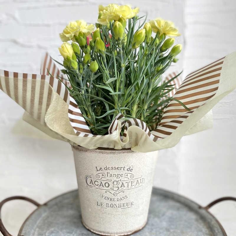 カーネーション花鉢 yellow系