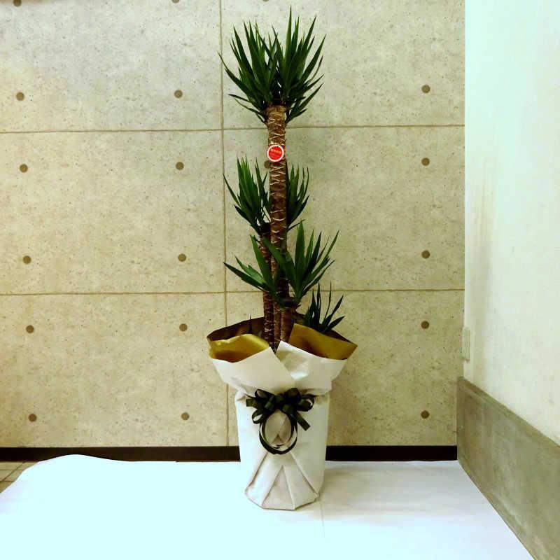 観葉植物 ユッカ 10号鉢 受け皿ラッピング付き