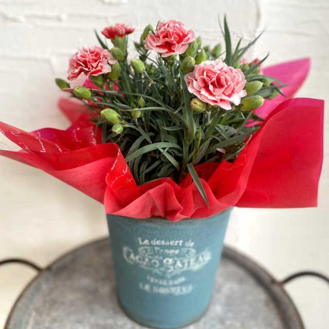 カーネーション花鉢 チェリーホイップ