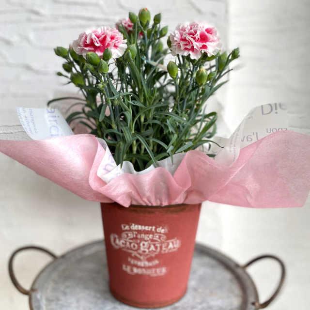 カーネーションの花鉢 パティシエール