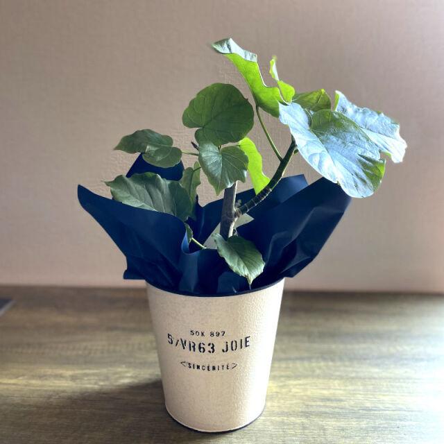 観葉植物 フィカス・ウンベラータ 5号鉢