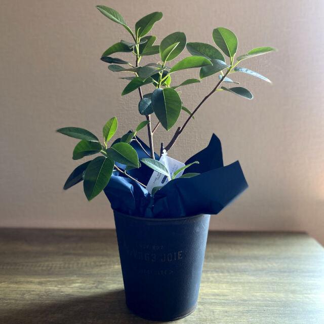 観葉植物 フィカス・ルビギノーサ(フランスゴムの木) 5号鉢