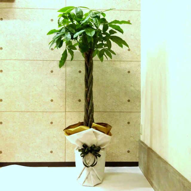 観葉植物 パキラ 10号鉢 受け皿ラッピング付き