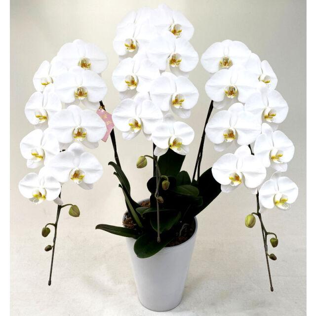 大輪3本立ち33輪の白色胡蝶蘭