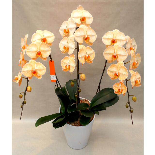 胡蝶蘭 オレンジエレガンス 大輪 5本立ち 55~60輪