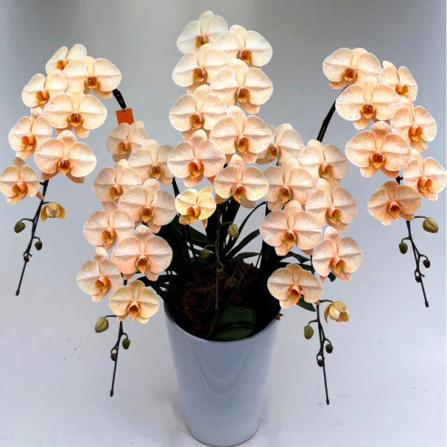 大輪5本立ち55から60輪のオレンジ色の染め上げ胡蝶蘭オレンジエレガンス