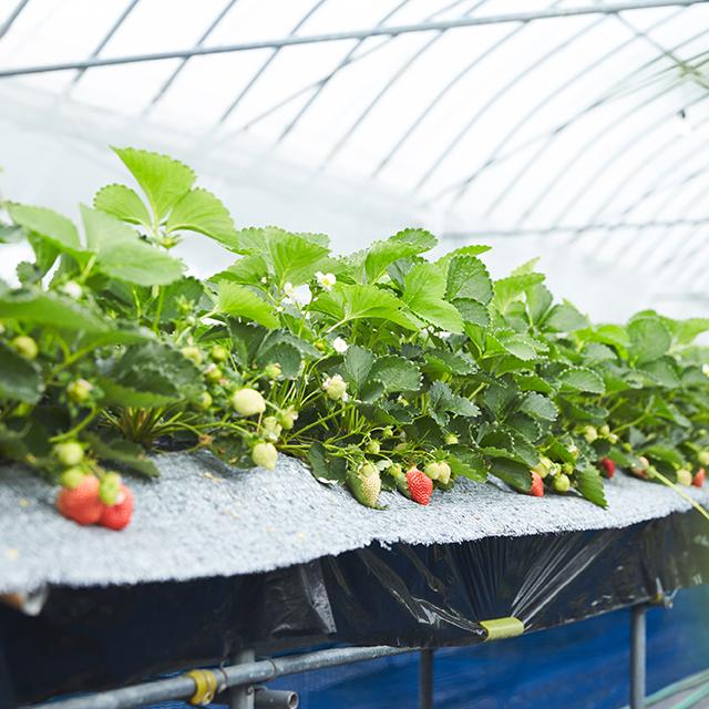 完熟あまおうを楽農ファームたけしたで栽培する様子