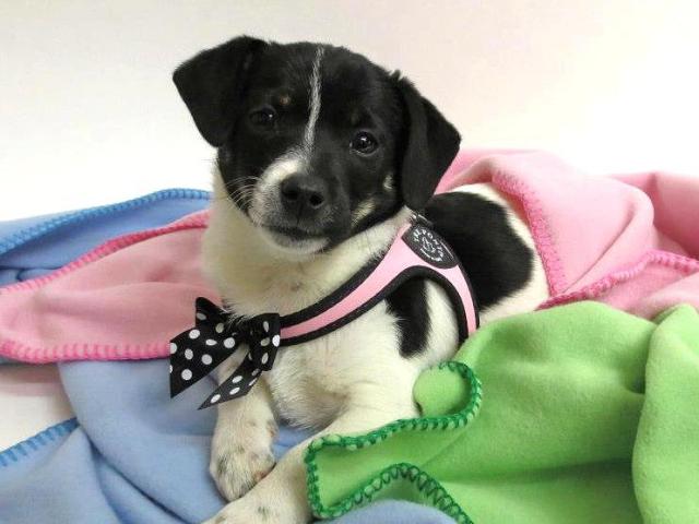 イタリア製小型犬用ハーネス(おしゃれ&かわいい)|ポルカドットボウタイ トレ・ポンティ|犬グッズ通販HAU