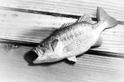 彫魚 FUMIO NAGAI (永井文雄) 『彫魚ブローチ各種』