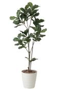 光触媒 光の楽園カシワバゴム1.8m【インテリアグリーン 人工観葉植物】(422a280)