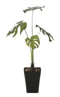 光触媒 光の楽園モンステラ90【インテリアグリーン 人工観葉植物】(625a150)