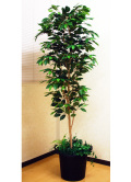 光触媒 光の楽園 ベンジャミン1.8m【インテリアグリーン 人工観葉植物】(acn175)