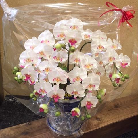 【手入れ不要!空気をきれいにするお花!?】光触媒の胡蝶蘭コチョウラン。生花にそっくり!(小)