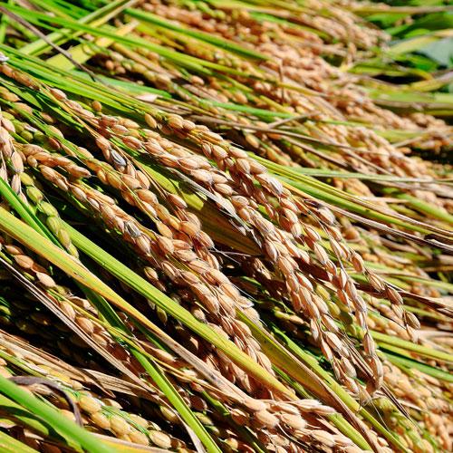 たかすタロファーム 特別栽培米 ゆめぴりか 10kg
