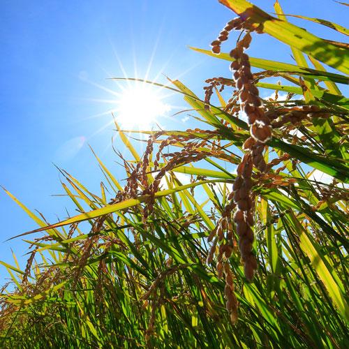 たかすタロファーム 特別栽培米 ふっくりんこ 10kg