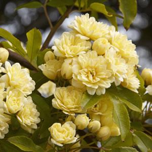 Rose Banksia -ELIXIR-