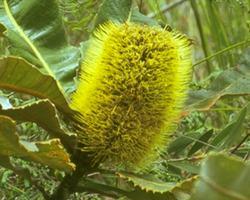 バンクシア・ロバー Banksia Robur/オーストラリア・ブッシュ・フラワーエッセンス