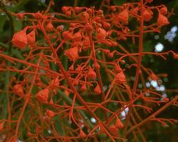 イラワラ・フレーム・ツリー Illawarra Flame Tree/オーストラリア・ブッシュ・フラワーエッセンス