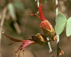 ボウヒニア Bauhinia/オーストラリア・ブッシュ・フラワーエッセンス