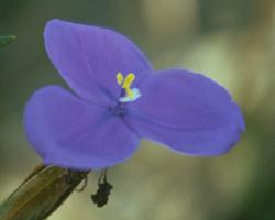 ブッシュ・アイリス Bush Iris/オーストラリア・ブッシュ・フラワーエッセンス