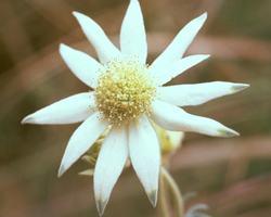 フランネル・フラワー Frannel Flower/オーストラリア・ブッシュ・フラワーエッセンス