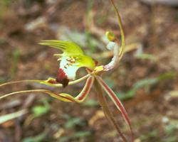 グリーン・スパイダー・オーキッド Green Spider Orchid/オーストラリア・ブッシュ・フラワーエッセンス