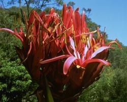 ガイミア・リリー Gymea Lily/オーストラリア・ブッシュ・フラワーエッセンス