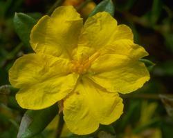 ハイバーシア Hibbertia/オーストラリア・ブッシュ・フラワーエッセンス