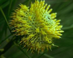 アイソポゴン Isopogon/オーストラリア・ブッシュ・フラワーエッセンス