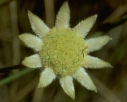 リトル・フランネル・フラワー Little Flannel Flower/オーストラリア・ブッシュ・フラワーエッセンス