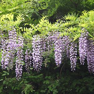 日本の花のフラワーエッセンス FE2  フジ 藤
