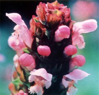 セルフヒール self-heal FES flower essence