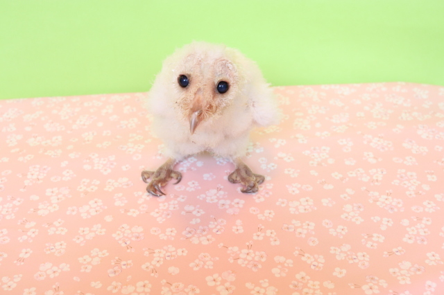 メンフクロウ ホワイトタイプ 雛