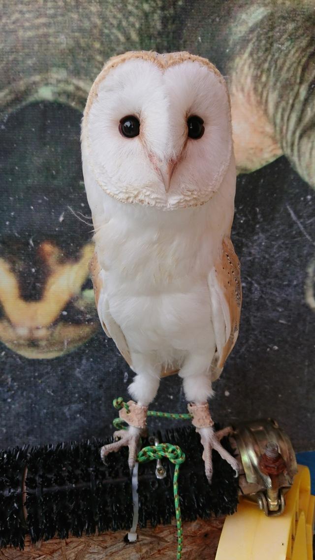 メンフクロウ ホワイトタイプ