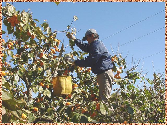 市田柿の収穫あんぽ5個用