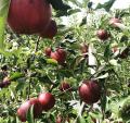 【送料無料】塩崎農園:りんご 約5kg/中玉(12~18個)