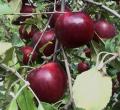 【送料無料】塩崎農園:りんご 約5kg/大玉(12~18個)