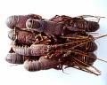 石鯛釣り用 イセエビ1