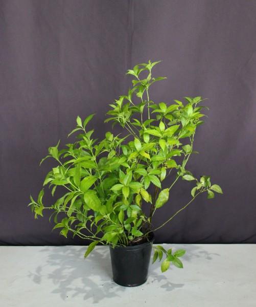 【現物296】センリョウ 千両 赤実・黄実 寄せ植え