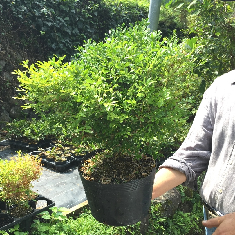 クサツゲ 草柘植