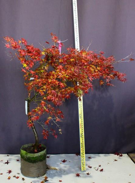 血汐 チシオモミジ 植木 現品販売 植木組合 植木市 現物商品画像