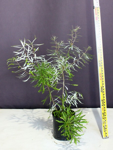 バンクシア ヘアピン 植木組合