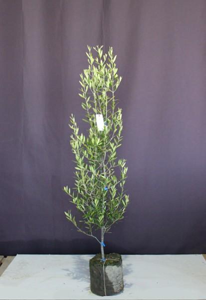 常緑 おりーぶ オリーブの木 シンボルツリー メインツリー ひなかぜ
