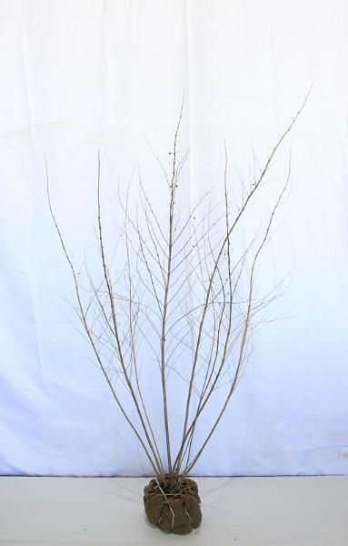 【現物819】白式部(シロシキブ)株立ち 高さ約1.5m