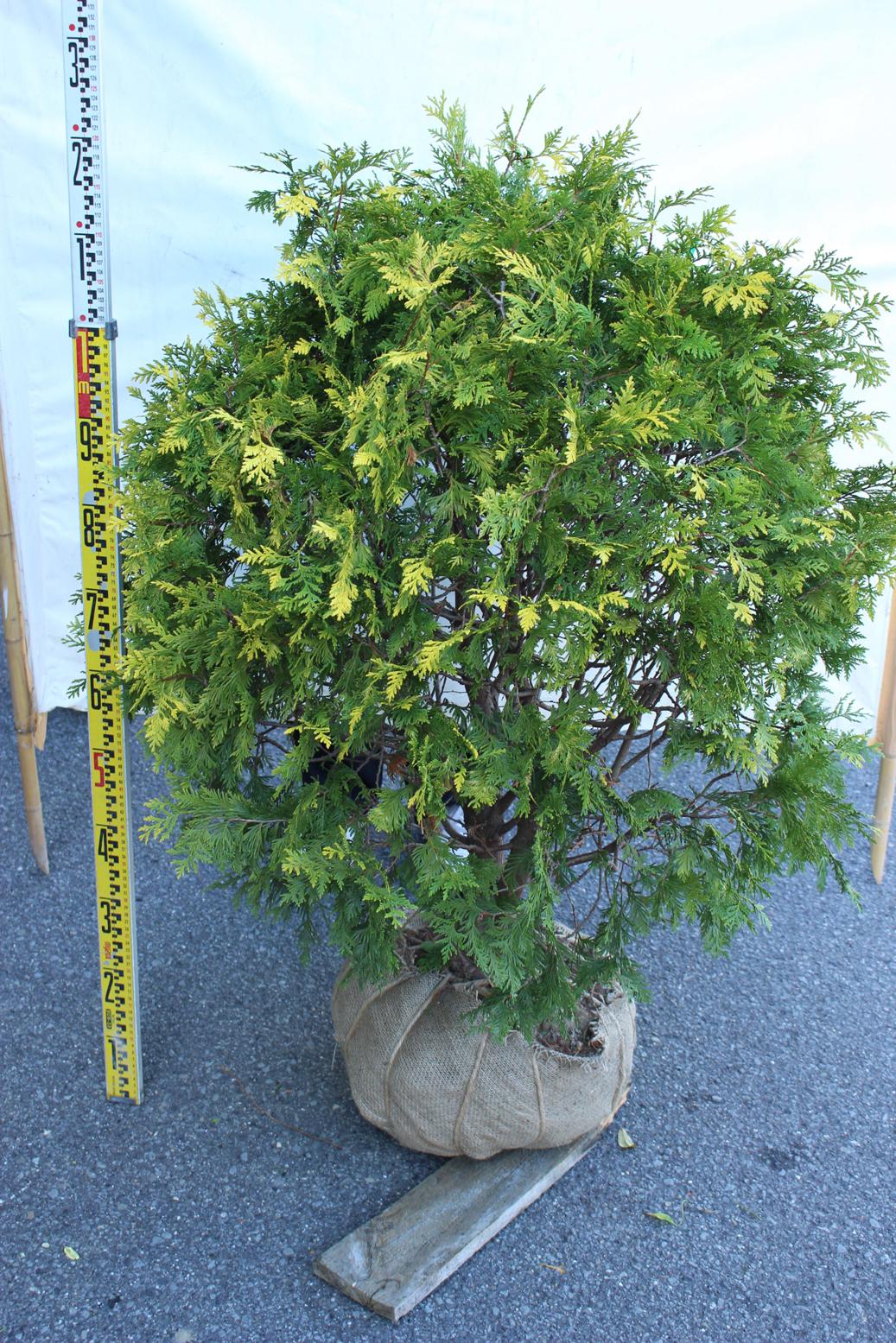 【植木市-122】 ヨーロッパゴールド 玉仕立て 高さ約 0.8m 幅約 0.8m