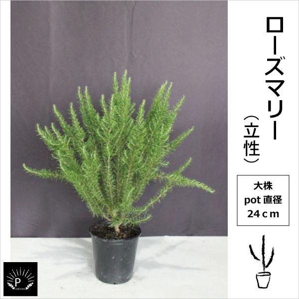 P105 ローズマリー 大株